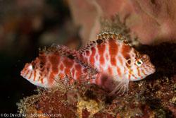 BD-110318-Puerto-Galera-3923-Cirrhitichthys-aprinus-(Cuvier.-1829)-[Spotted-hawkfish].jpg